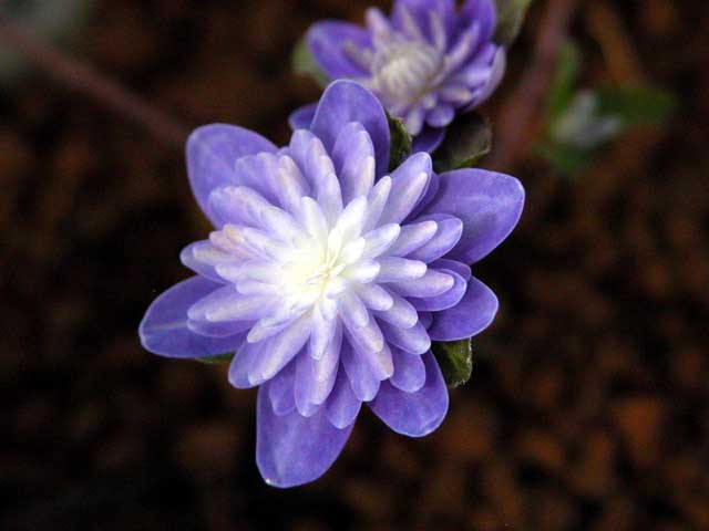 Hepatica Asiatica Var Onica F Magna Double Purple