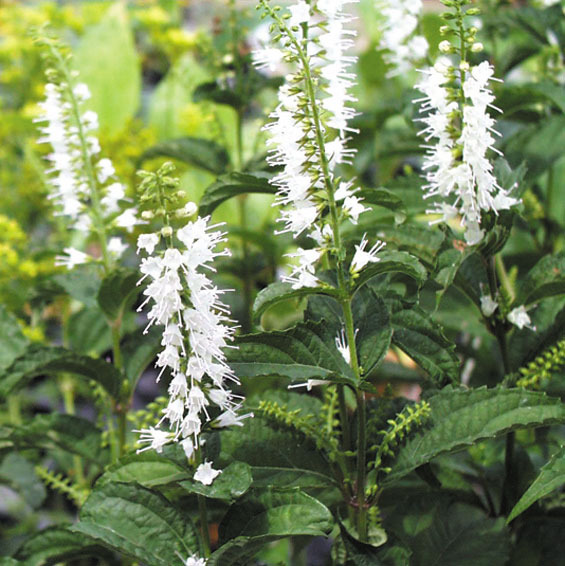 Woodland perennials a tall woodland perennial for late summer bloom with showy spikes of white flowers on 2 3 stalks mightylinksfo